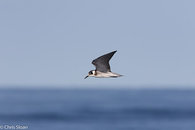 Black Tern in Gulf Stream pelagic off Hatteras, NC (08-26-2016) 109-58