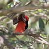 Northern Red Bishop in Puerto Rico (05-27-2017)-40