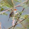 Orange-cheeked Waxbill in Puerto Rico (05-26-2017) 121-300