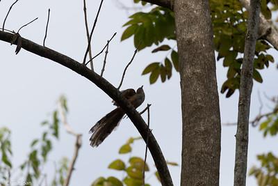 Puerto Rican Lizard-Cuckoo in Puerto Rico (05-26-2017) 121-134