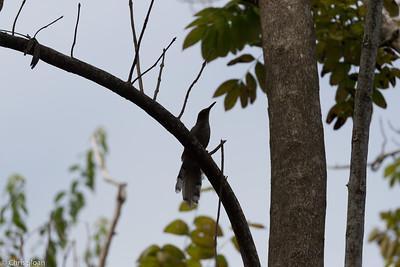 Puerto Rican Lizard-Cuckoo in Puerto Rico (05-26-2017) 121-131