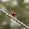 Northern Red Bishop in Puerto Rico (05-27-2017)-58