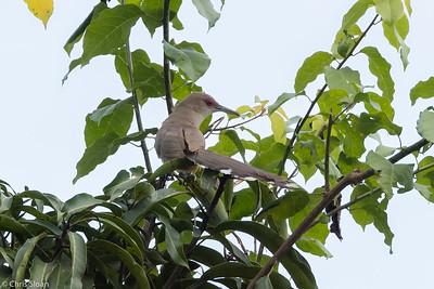 Puerto Rican Lizard-Cuckoo in Puerto Rico (05-26-2017) 121-166