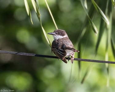 Loggerhead Kingbird in Puerto Rico (05-26-2017) 121-19