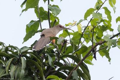 Puerto Rican Lizard-Cuckoo in Puerto Rico (05-26-2017) 121-158