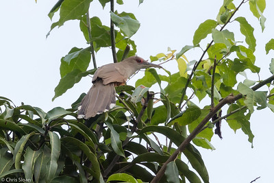 Puerto Rican Lizard-Cuckoo in Puerto Rico (05-26-2017) 121-159