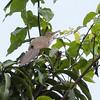 Puerto Rican Lizard-Cuckoo in Puerto Rico (05-26-2017) 121-165