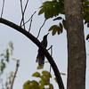 Puerto Rican Lizard-Cuckoo in Puerto Rico (05-26-2017) 121-130
