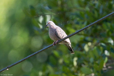 Common Ground-Dove in Puerto Rico (05-26-2017) 121-6