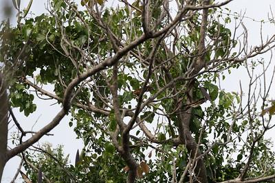 Puerto Rican Lizard-Cuckoo in Puerto Rico (05-26-2017) 121-109