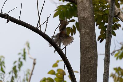 Puerto Rican Lizard-Cuckoo in Puerto Rico (05-26-2017) 121-135