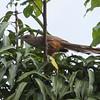 Puerto Rican Lizard-Cuckoo in Puerto Rico (05-26-2017) 121-177
