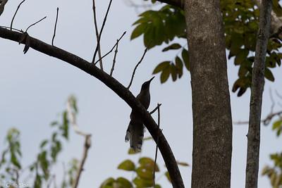 Puerto Rican Lizard-Cuckoo in Puerto Rico (05-26-2017) 121-133