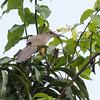 Puerto Rican Lizard-Cuckoo in Puerto Rico (05-26-2017) 121-157