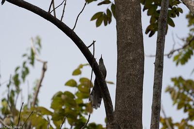 Puerto Rican Lizard-Cuckoo in Puerto Rico (05-26-2017) 121-127