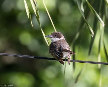 Loggerhead Kingbird in Puerto Rico (05-26-2017) 121-22