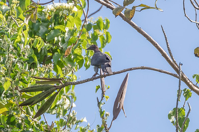 Scaly-naped Pigeon in Puerto Rico (05-26-2017) 121-91