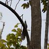 Puerto Rican Lizard-Cuckoo in Puerto Rico (05-26-2017) 121-126