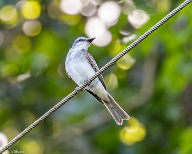 Gray Kingbird in Puerto Rico (05-26-2017) 121-36