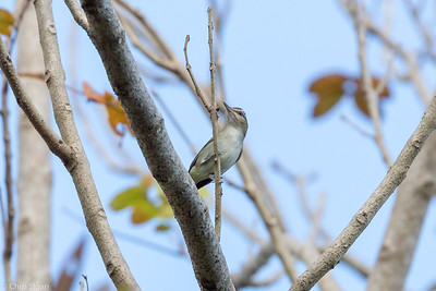 Black-whiskered Vireo in Puerto Rico (05-26-2017) 121-111