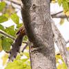Puerto Rican Lizard-Cuckoo in Puerto Rico (05-26-2017) 121-137