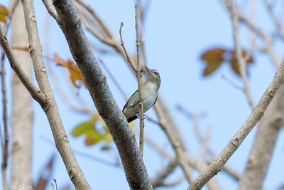 Black-whiskered Vireo in Puerto Rico (05-26-2017) 121-112