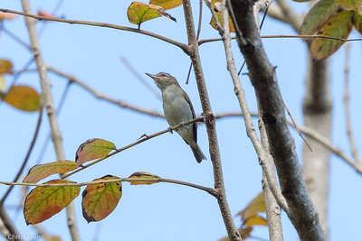Black-whiskered Vireo in Puerto Rico (05-26-2017) 121-119