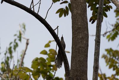 Puerto Rican Lizard-Cuckoo in Puerto Rico (05-26-2017) 121-128