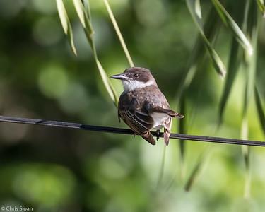 Loggerhead Kingbird in Puerto Rico (05-26-2017) 121-21