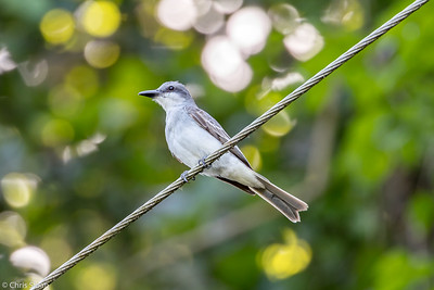 Gray Kingbird in Puerto Rico (05-26-2017) 121-33