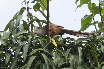 Puerto Rican Lizard-Cuckoo in Puerto Rico (05-26-2017) 121-174