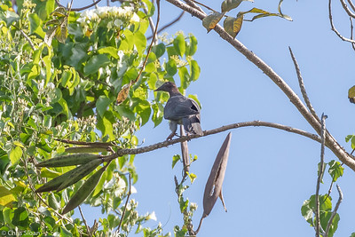 Scaly-naped Pigeon in Puerto Rico (05-26-2017) 121-92