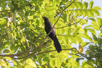 Smooth-billed Ani in Puerto Rico (05-26-2017) 121-66