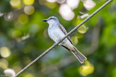 Gray Kingbird in Puerto Rico (05-26-2017) 121-41