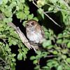 Puerto Rican Screech-Owl in Puerto Rico (05-26-2017) 122-11