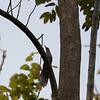 Puerto Rican Lizard-Cuckoo in Puerto Rico (05-26-2017) 121-129