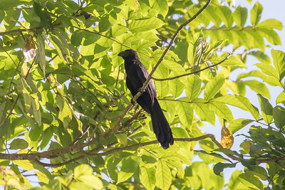 Smooth-billed Ani in Puerto Rico (05-26-2017) 121-67