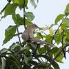 Puerto Rican Lizard-Cuckoo in Puerto Rico (05-26-2017) 121-173