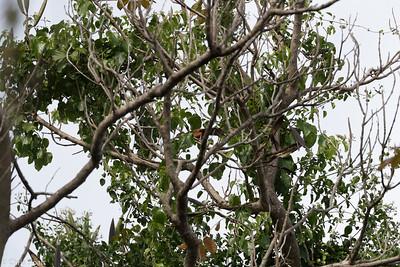 Puerto Rican Lizard-Cuckoo in Puerto Rico (05-26-2017) 121-110
