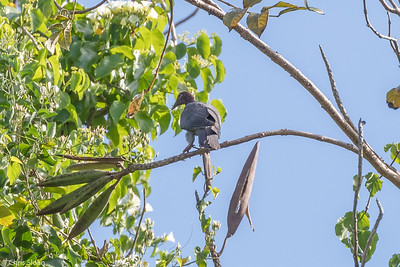 Scaly-naped Pigeon in Puerto Rico (05-26-2017) 121-94