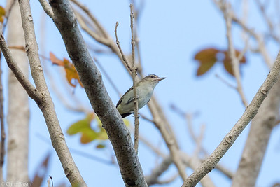Black-whiskered Vireo in Puerto Rico (05-26-2017) 121-114