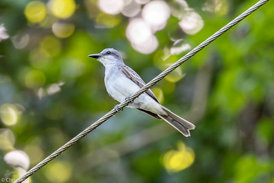 Gray Kingbird in Puerto Rico (05-26-2017) 121-31