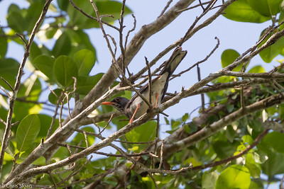 Red-legged Thrush in Puerto Rico (05-26-2017) 121-80