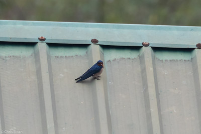 Angola Swallow travelling between Mabamba  Swamp and Lake Mburo, Uganda (11-24-2017) 132-66