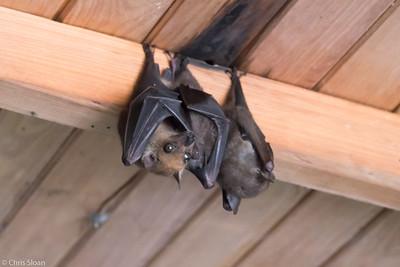 Angolan Fruit Bats Mabira Forest, Uganda (11-23-2017) 129-145