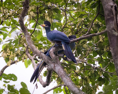 Great Blue Turaco at Mabira Forest, Uganda (11-23-2017) 129-121