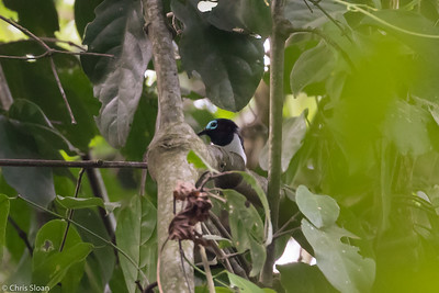 Jameson's Wattle-eye male at Mabira Forest, Uganda (11-23-2017) 129-23