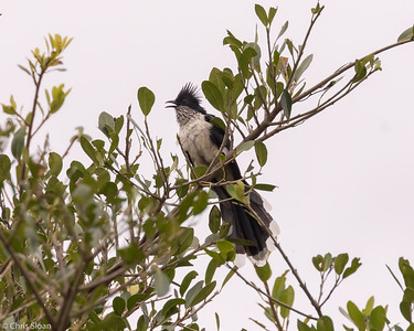 Levaillant's Cuckoo travelling between Mabamba  Swamp and Lake Mburo, Uganda (11-24-2017) 132-102
