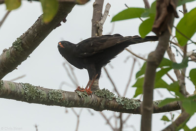 Gabar Goshawk dark morph travelling between Mabamba  Swamp and Lake Mburo, Uganda (11-24-2017) 132-133