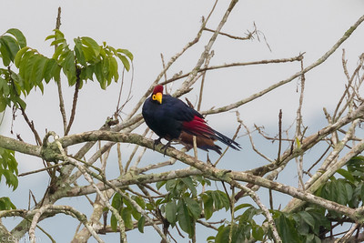 Ross' Turaco travelling between Mabamba  Swamp and Lake Mburo, Uganda (11-24-2017) 132-40